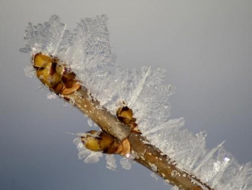 Baumbestimmung im Winter - Hier sind die grünlichen, sich gegenüber stehenden Knospen des Bergahorns zu sehen.