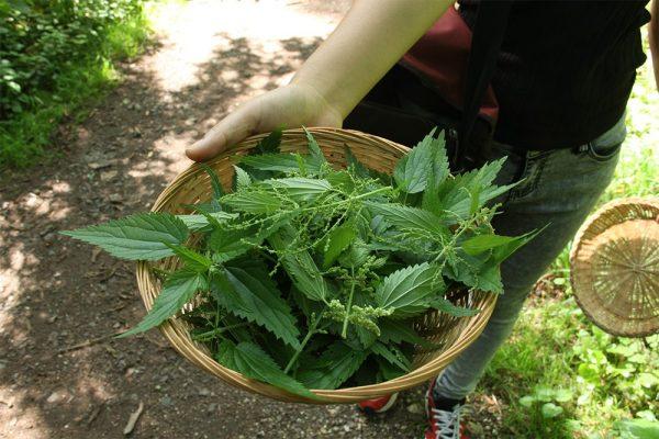 Die Ferienkinder erfuhren dass Brennnesseln sehr gesunde und schmackhafte Wildpflanzen sind, die jeder im Garten haben sollte, da sie auch über 50 verschiedenen Schmetterlingsarten als Nahrungspflanze dienen.