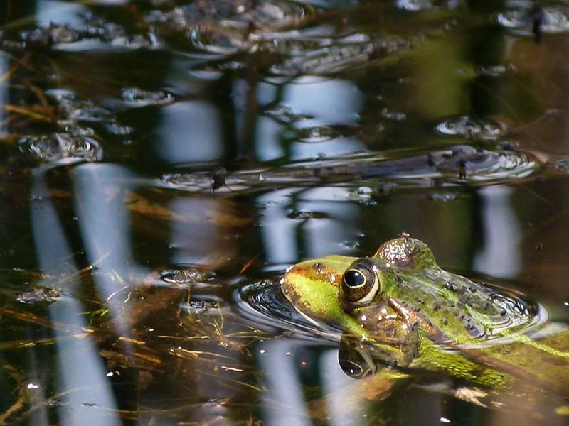 Wasserfrosch (Teich- oder Seefrosch)